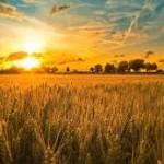 Market Spotlight: Kansas City Wheat